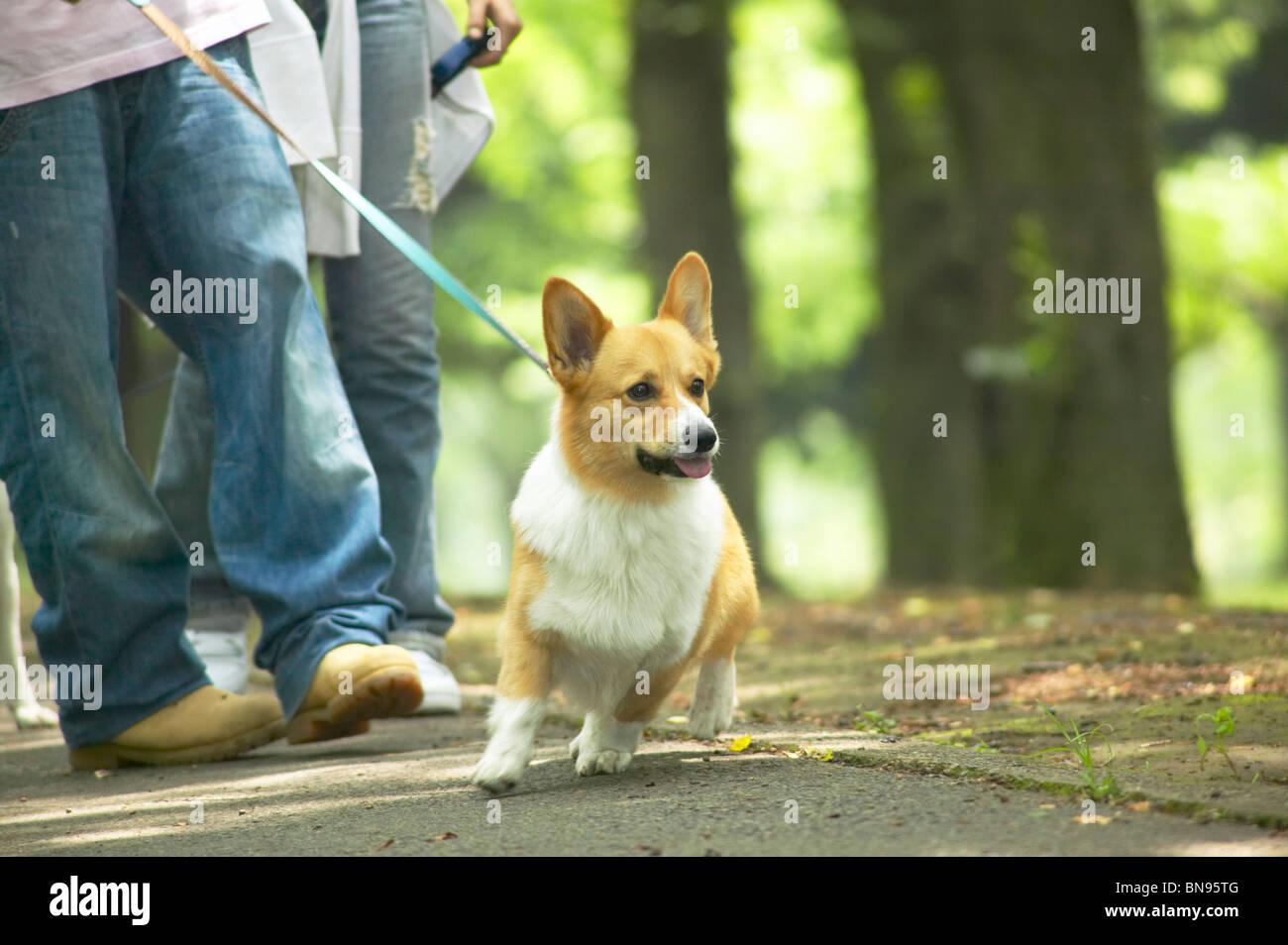 Pareja paseando sus corgi perro en un parque Foto de stock