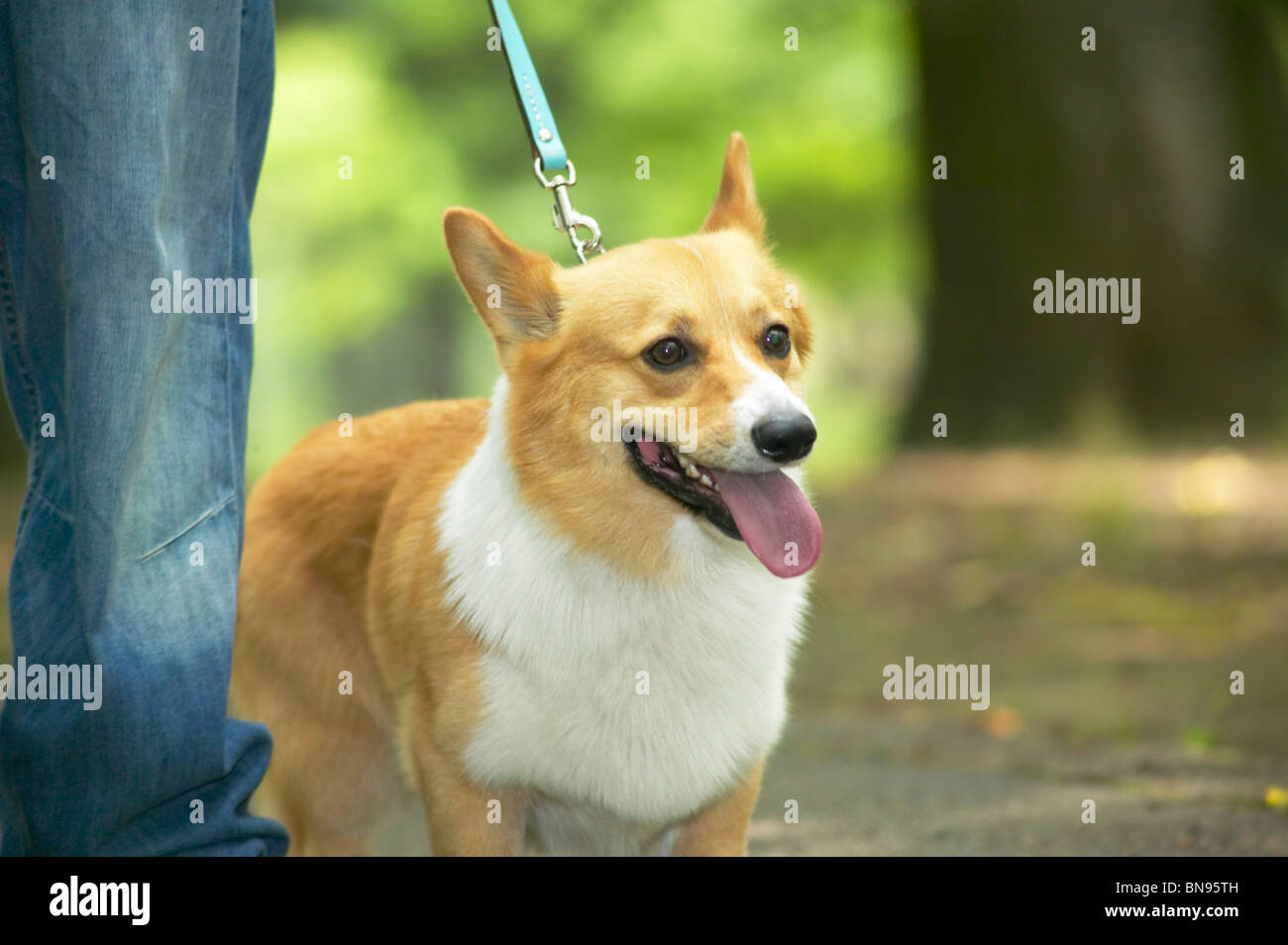 Corgi perro caminaba sobre una correa Foto de stock