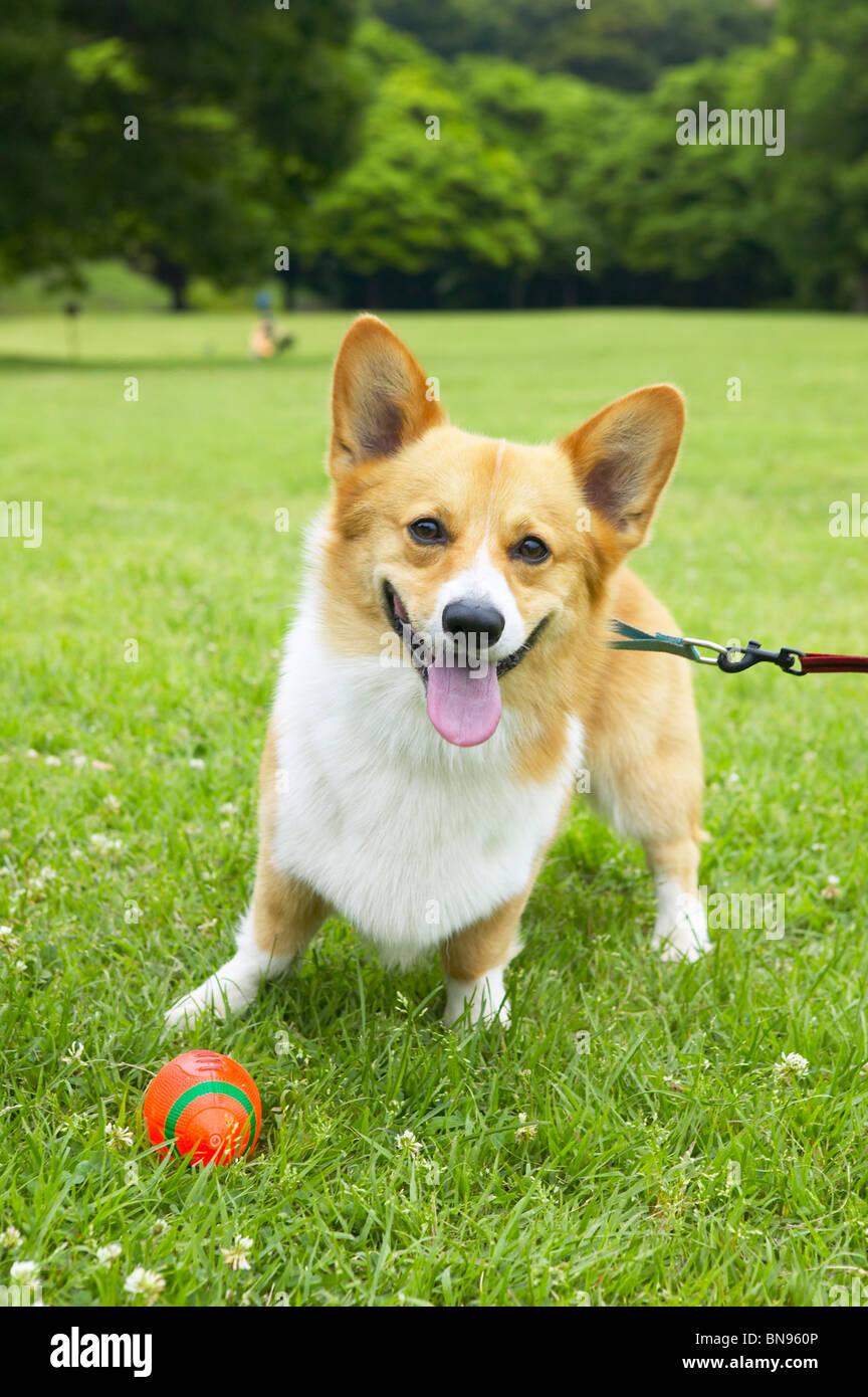 Corgi con una correa con un balón delante de él. Foto de stock