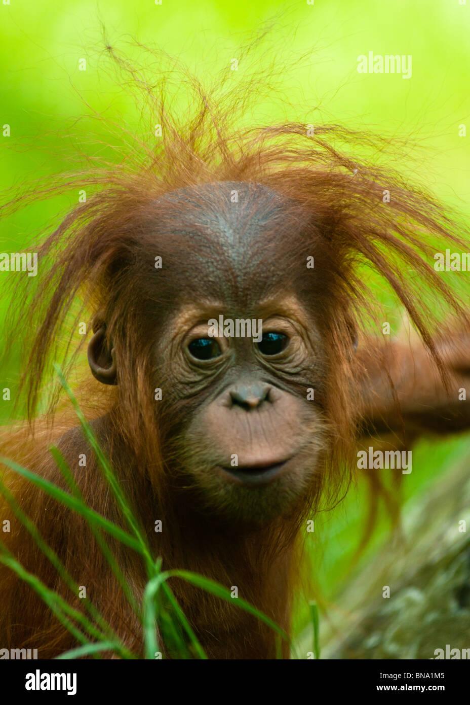 Bebé orangután (Pongo pygmaeus) de cerca. Foto de stock