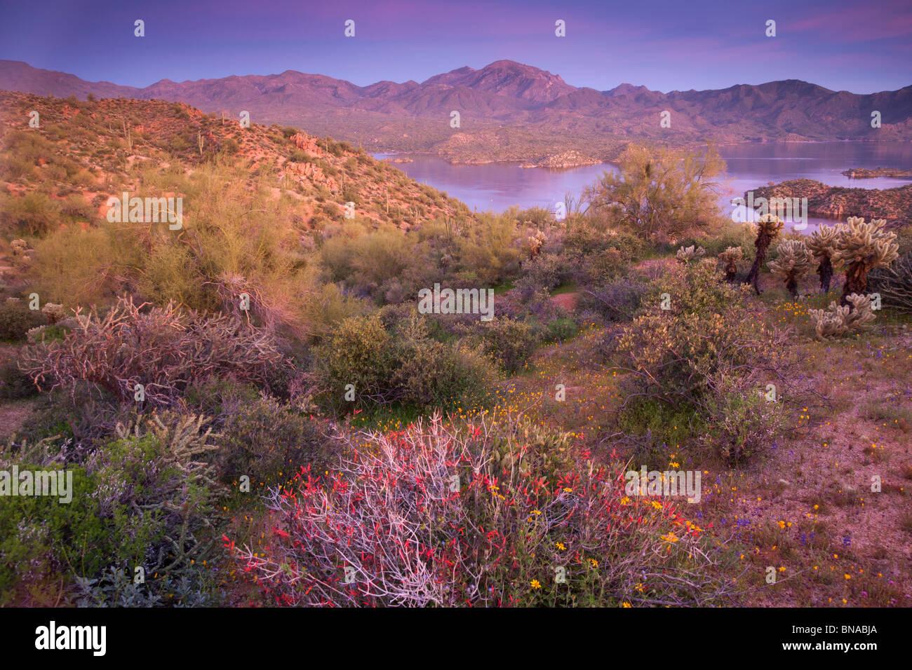 Flores silvestres a lo largo de lago Bartlett, el Bosque Nacional de Tonto, cerca de Phoenix, Arizona. Imagen De Stock