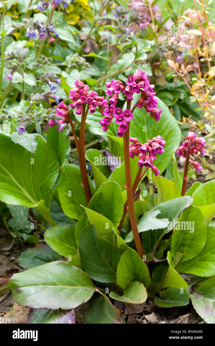 """Flores de color rosado-rojizo y brillantes hojas de Bergenia cordifolia 'Winterglut"""" Foto de stock"""