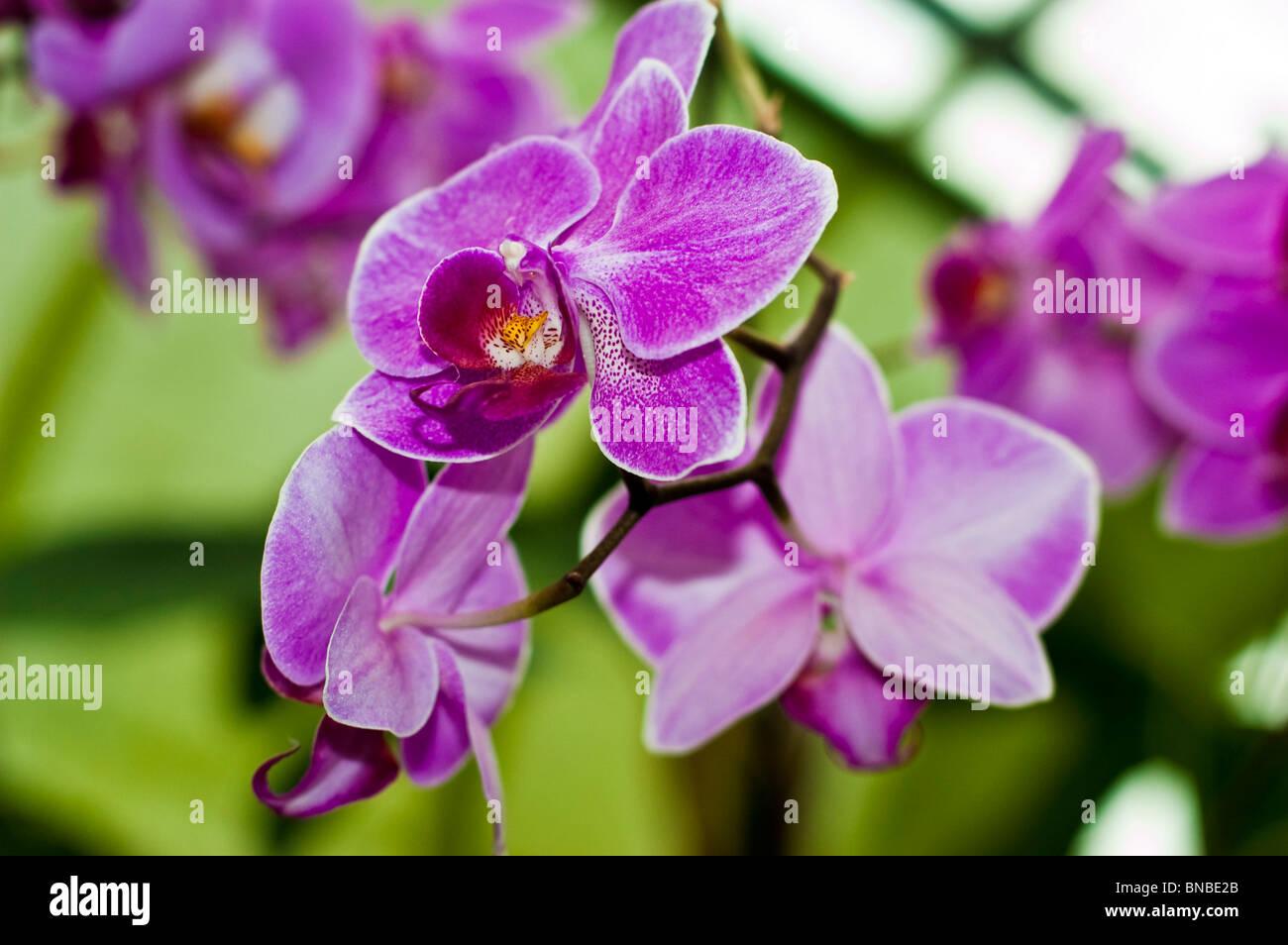 Rosa violeta flores de orquídeas Phalenopsis Joyau Suzanne X Carmela's Pixie Bedford Foto de stock