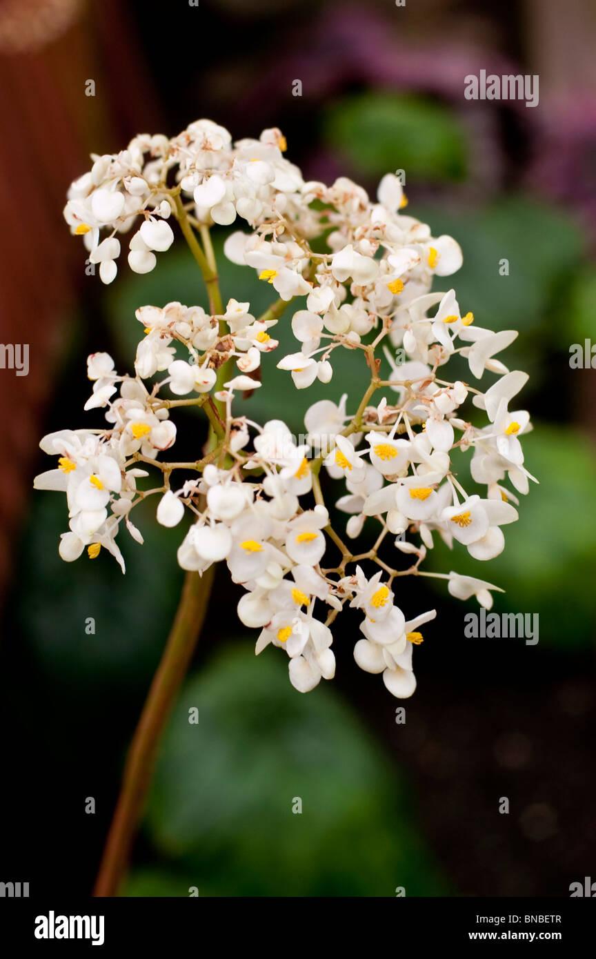 Flores blancas de Lily-pad de Begonias begoniaceae Begonia nelumbiifolia,, México, Colombia, Estados Unidos Imagen De Stock