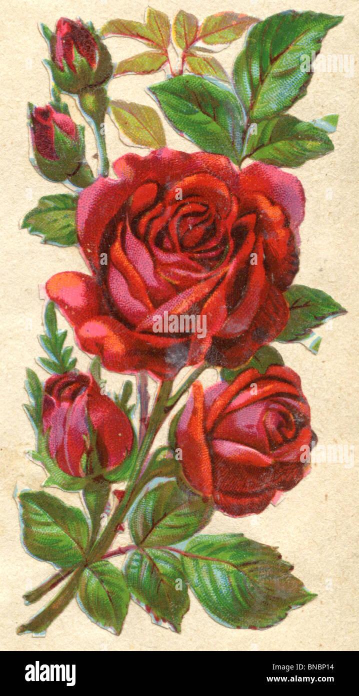 Rosas rojas Imagen De Stock
