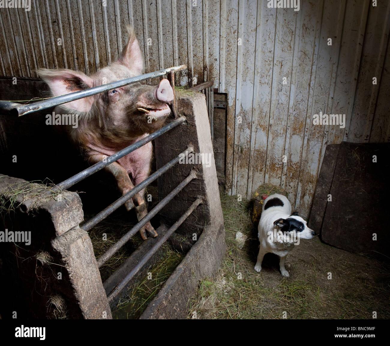 Cerdo con perro en la masía, Islandia Foto de stock