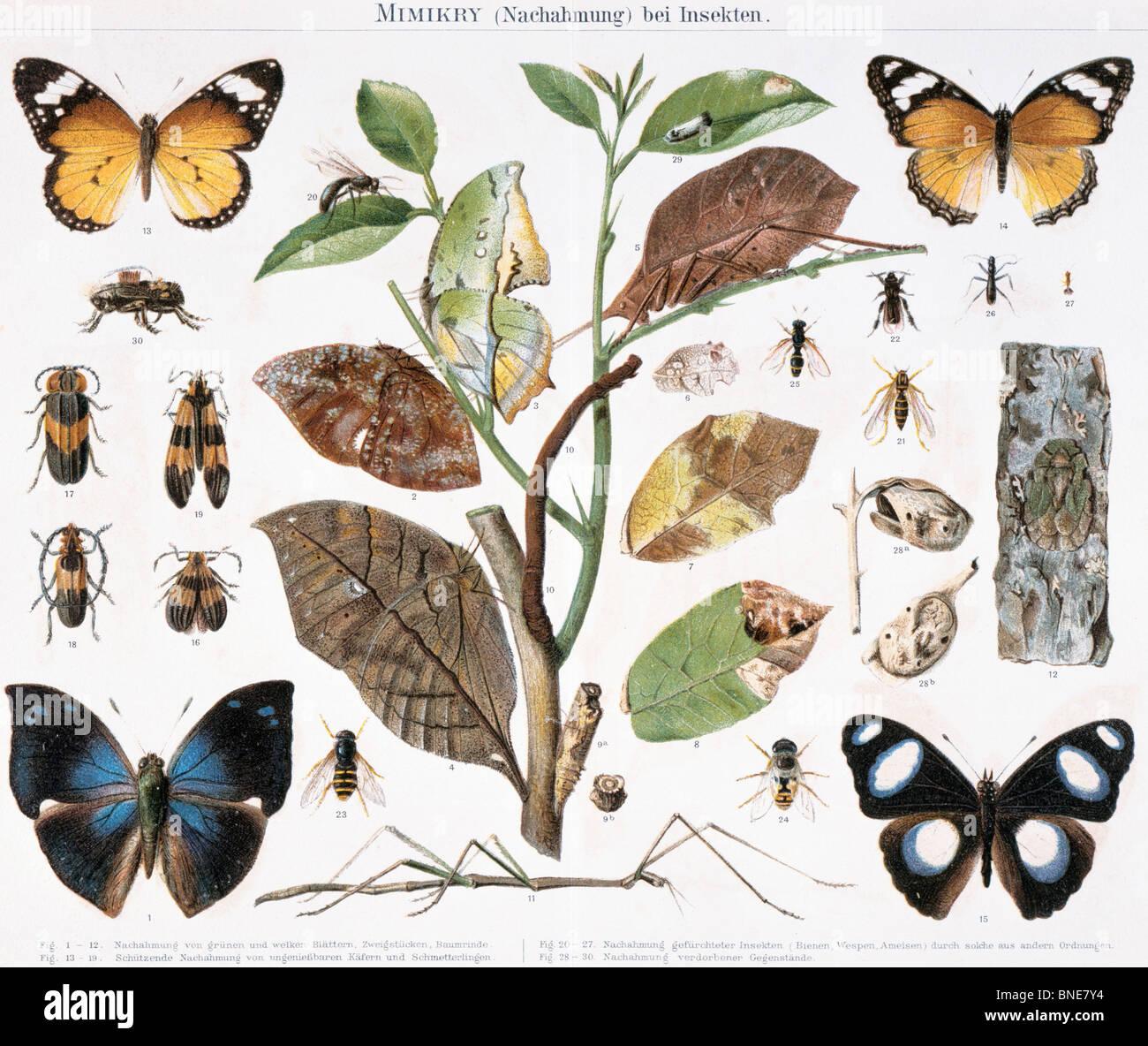 Mimikry, litografía, del siglo XIX, Colección Privada. Foto de stock
