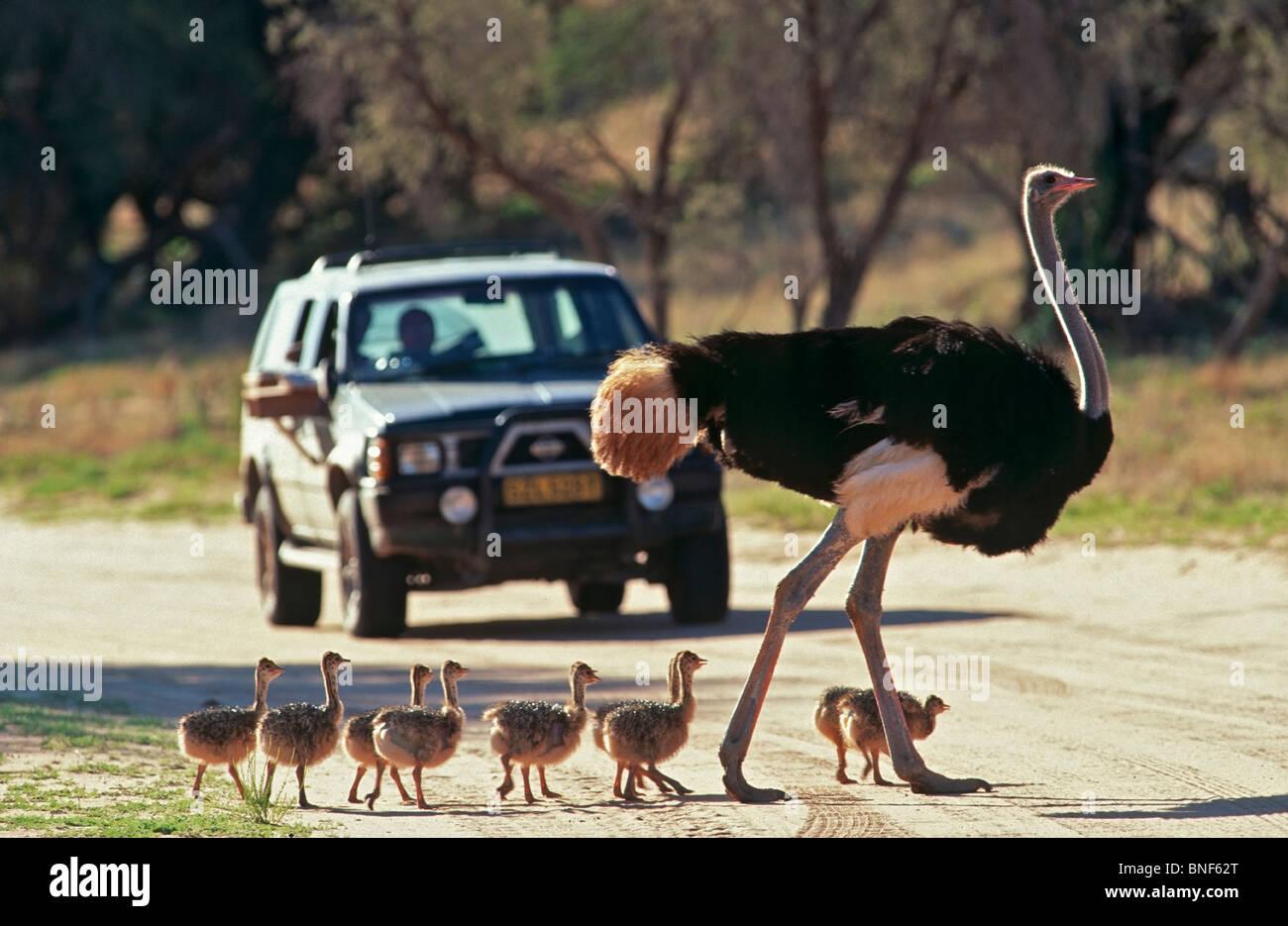 Vista en primer plano común de avestruz (Struthio camelus) y pollitos cruzar una carretera, el Parque Transfronterizo Imagen De Stock