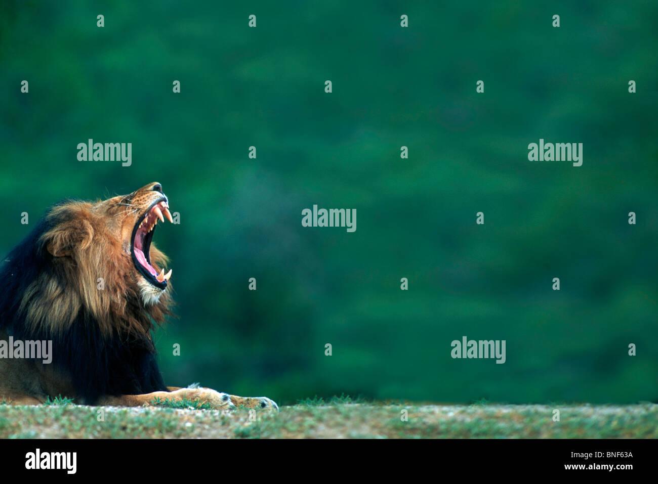 Vista de un león (Panthera leo) tendido en el suelo, el Parque Nacional Kruger, en la provincia de Mpumalanga, Imagen De Stock