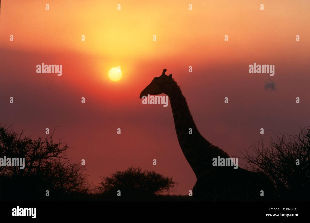 Silueta de la jirafa (Giraffa Camelopardalis) contra el atardecer, Provincia de KwaZulu-Natal, Sudáfrica Imagen De Stock