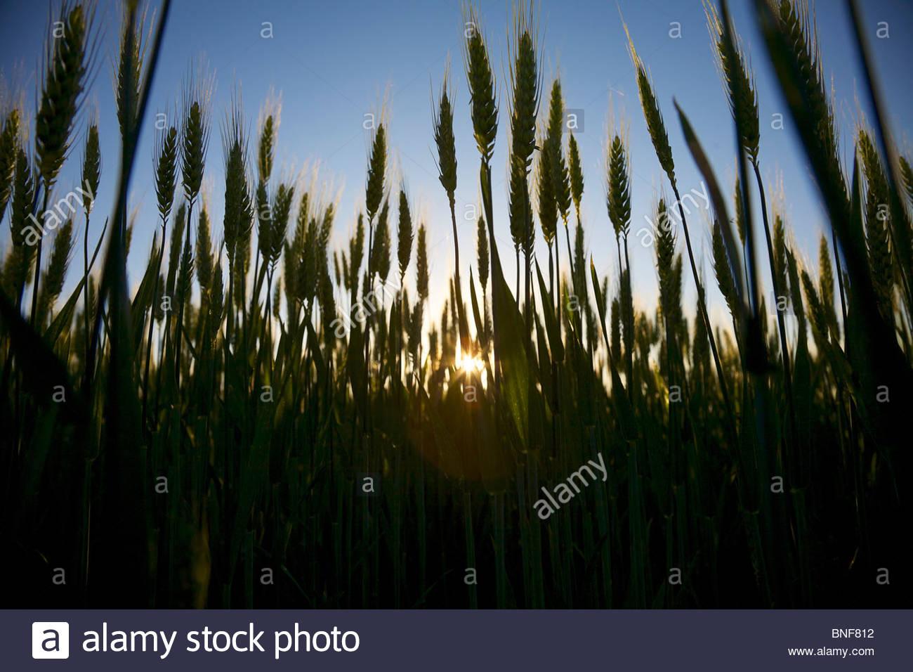 Crece el trigo en una pequeña granja orgánica en las zonas rurales de Francia a finales de la primavera. Imagen De Stock