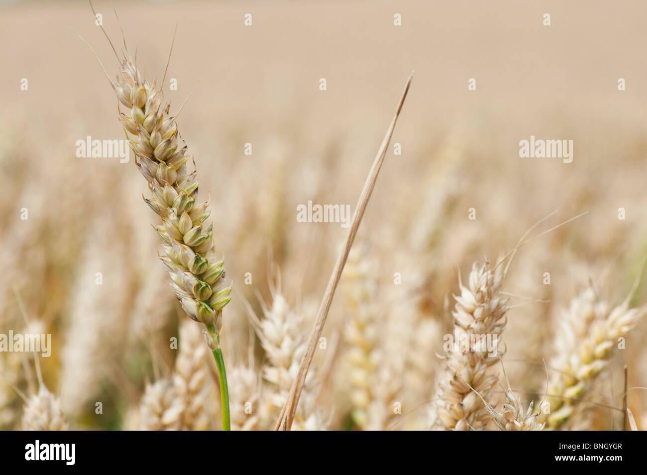Triticum aestivum. En un campo de trigo en la campiña inglesa Imagen De Stock