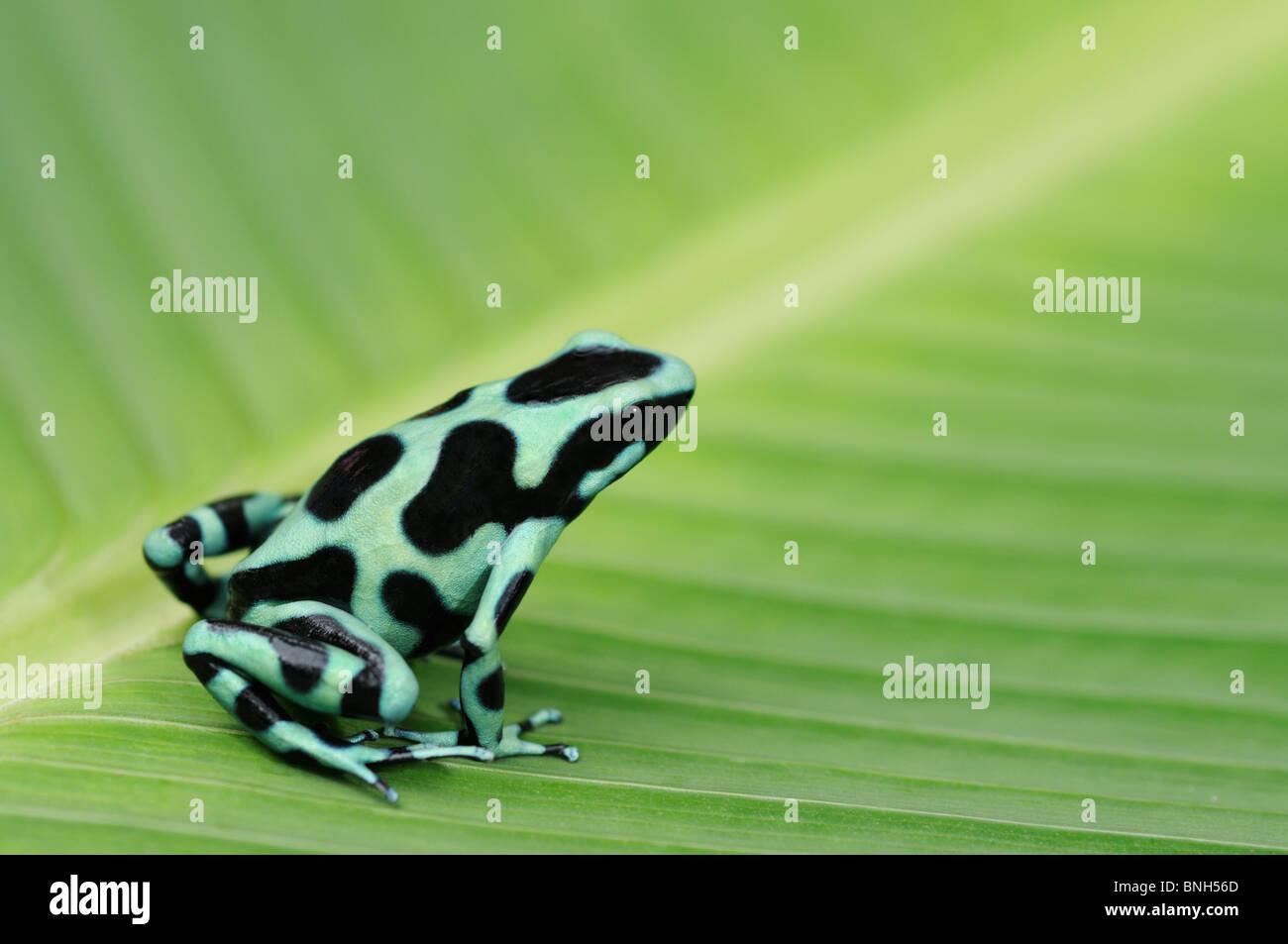 Verde y negro rana venenosa, Dendrobates auratus, en la selva, Chilamate, Costa Rica Foto de stock
