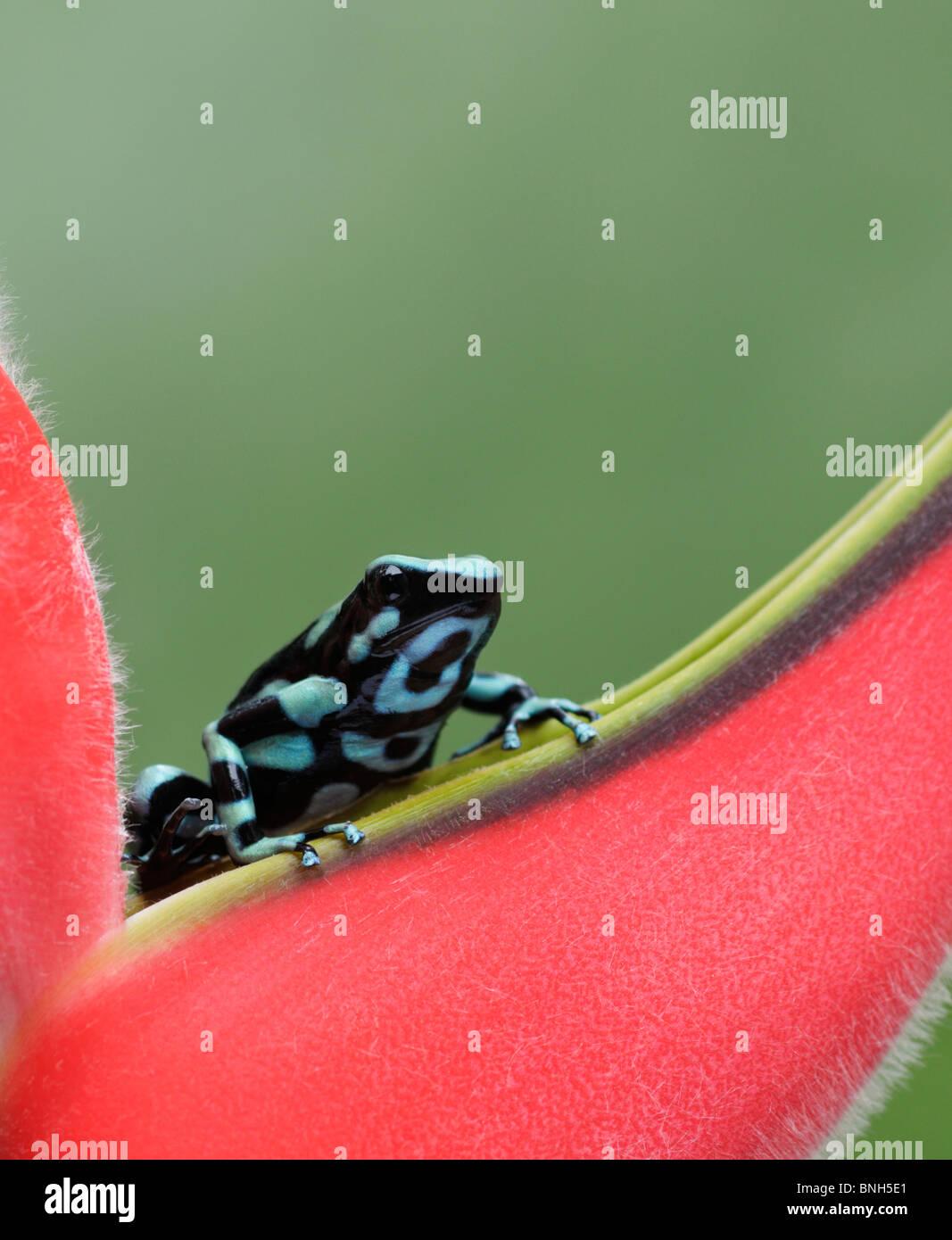 Verde y negro poison dart frog, Dendrobates auratus, Selva Verde, Costa Rica Imagen De Stock