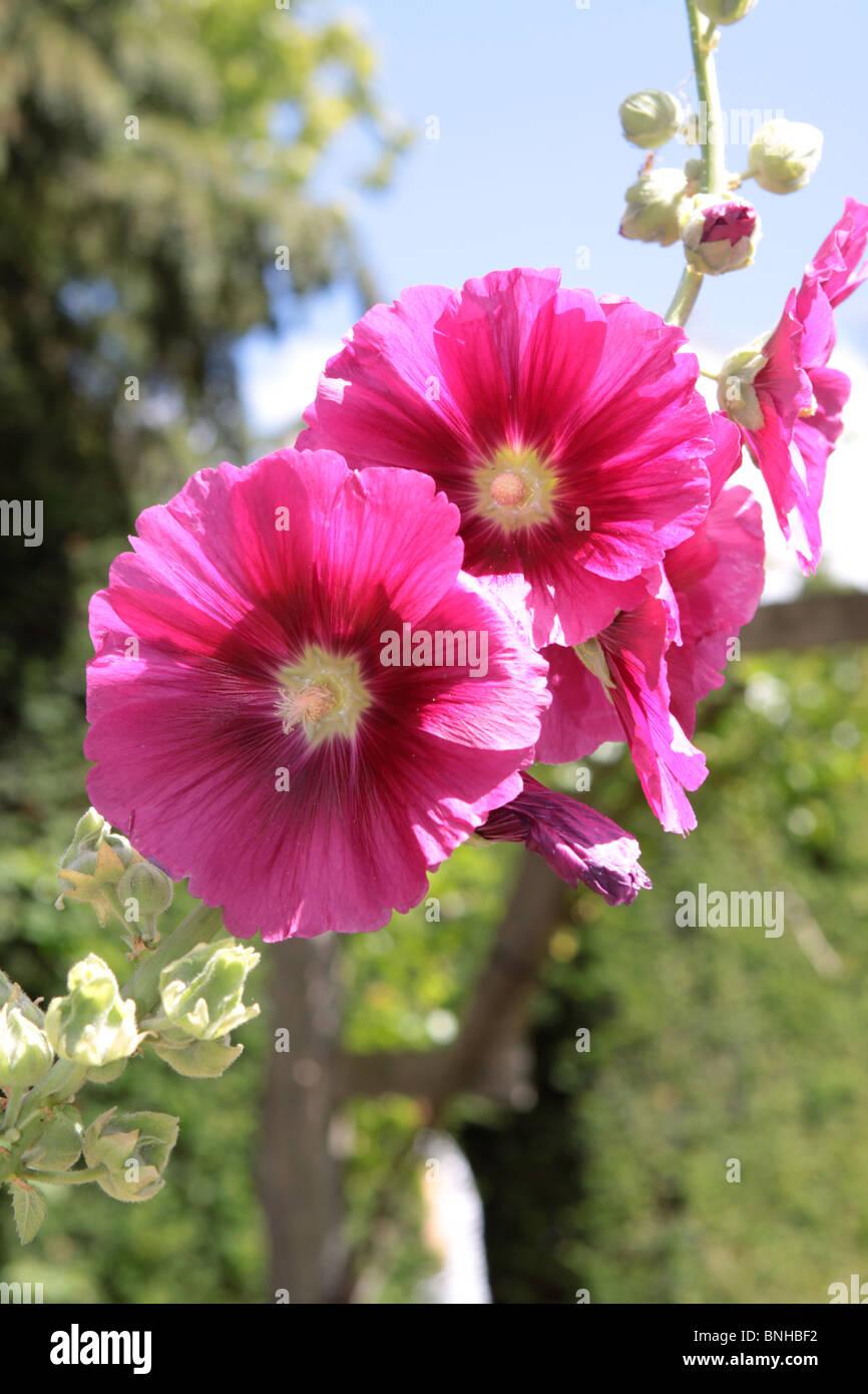 Flor Rosa redondo en verano el sol en el jardín personal Imagen De Stock