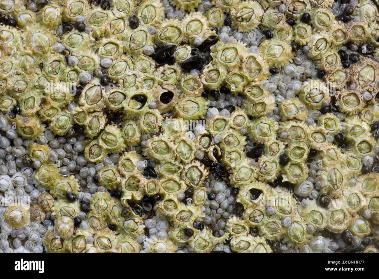 Acorn percebes expuestos en la marea baja Semibalanus balanoides Brough cabeza continental En Orkney000916 Foto de stock