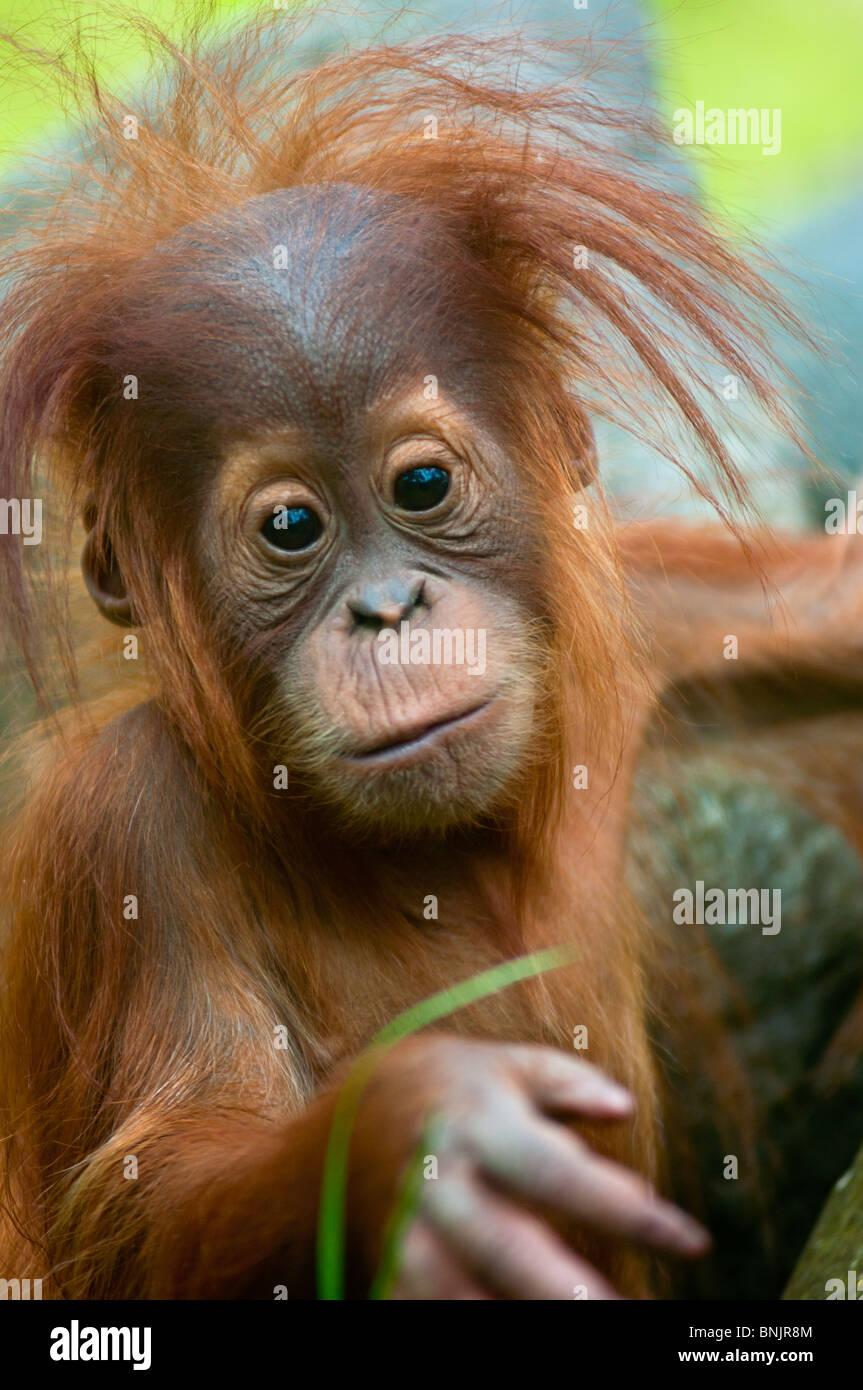 Lindo bebé orangután (Pongo pygmaeus) Contacto con los ojos. Foto de stock