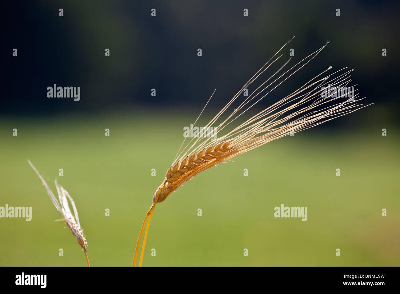 En el campo de la Cebada Hordeum vulgare Imagen De Stock