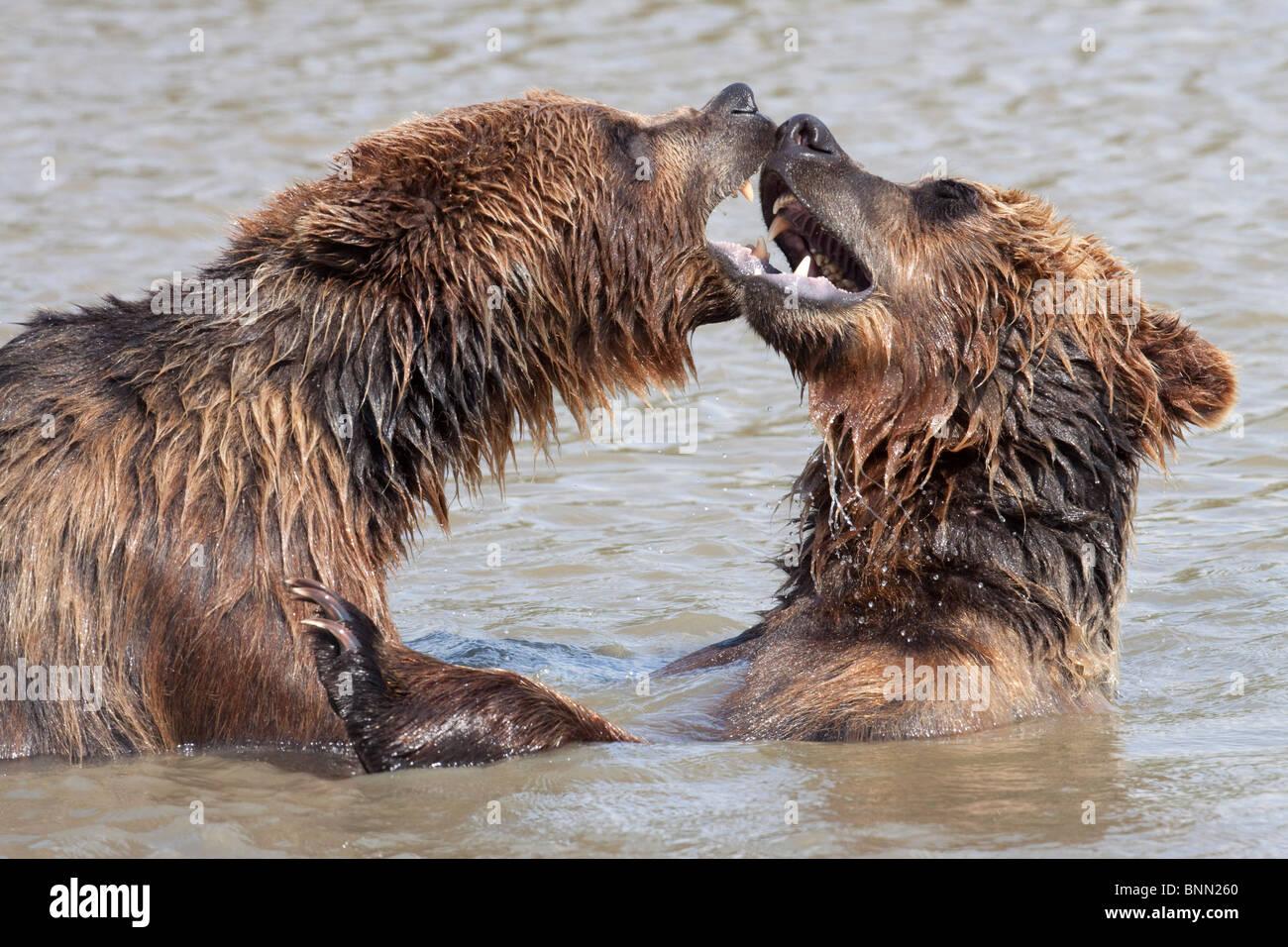 Reproducción en cautiverio: Dos Grizzly lucha en el agua del brazo Turnagain en el Centro de Conservación Imagen De Stock