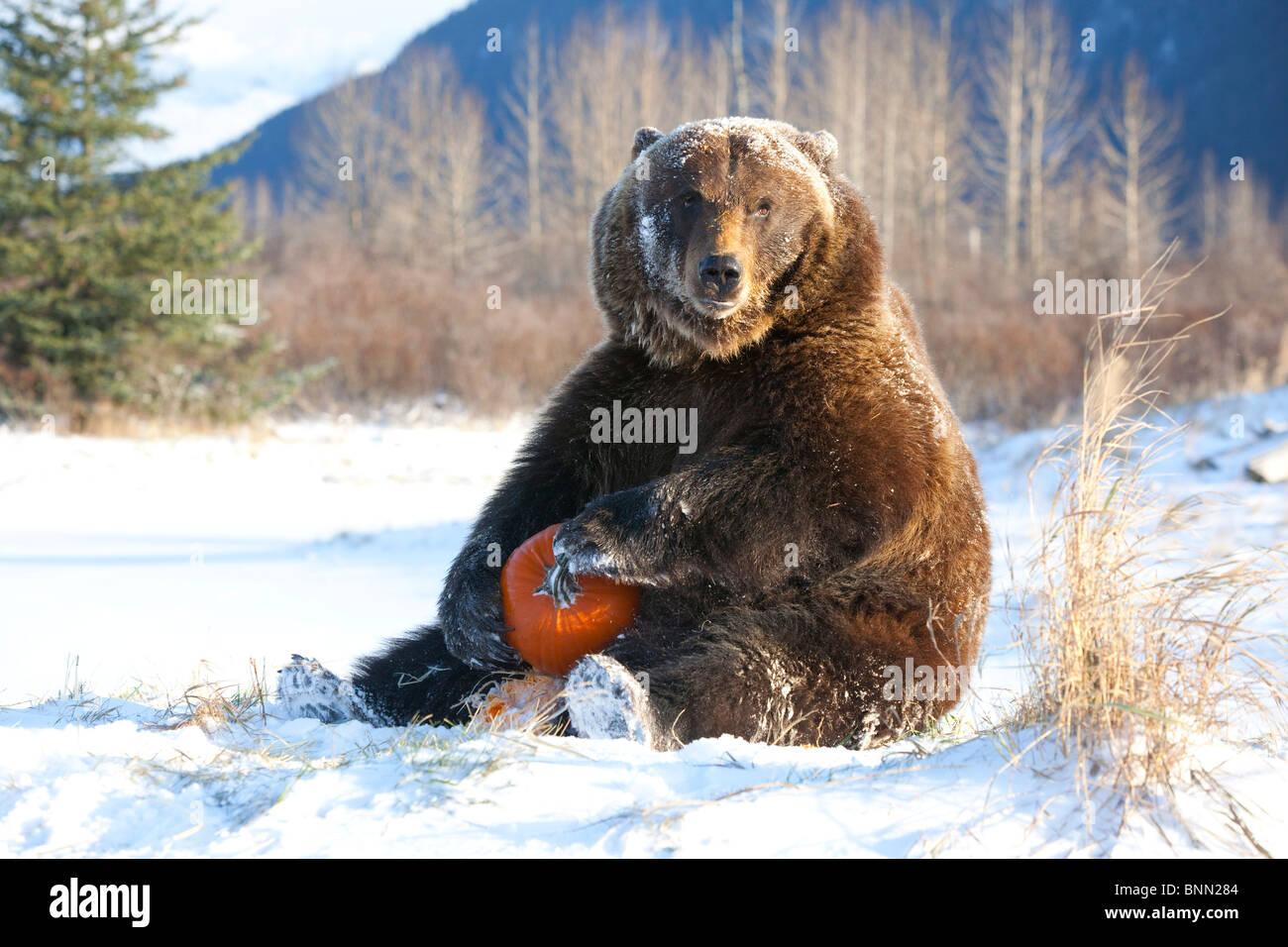 Grizzly cautivo juega con una calabaza durante el invierno en el Centro de Conservación de la vida silvestre Imagen De Stock