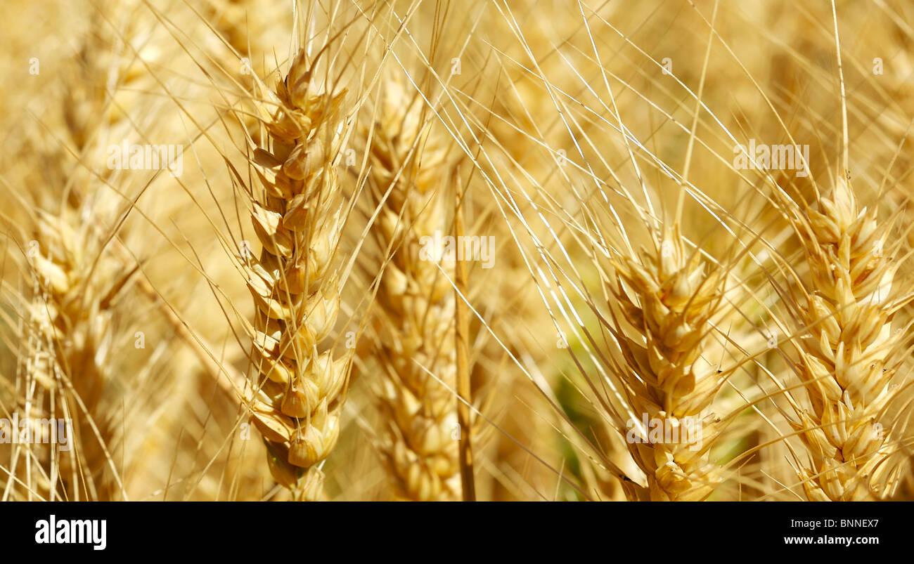 El trigo que está preparada para cosechar Imagen De Stock