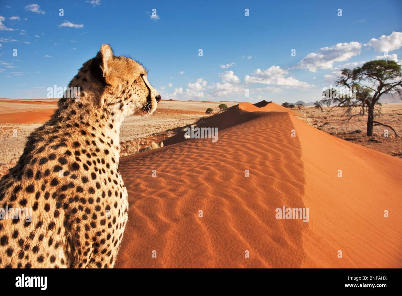 Guepardo (Acinonyx jubatus) con el paisaje del desierto en la parte trasera del terreno. Namibia. Imagen De Stock