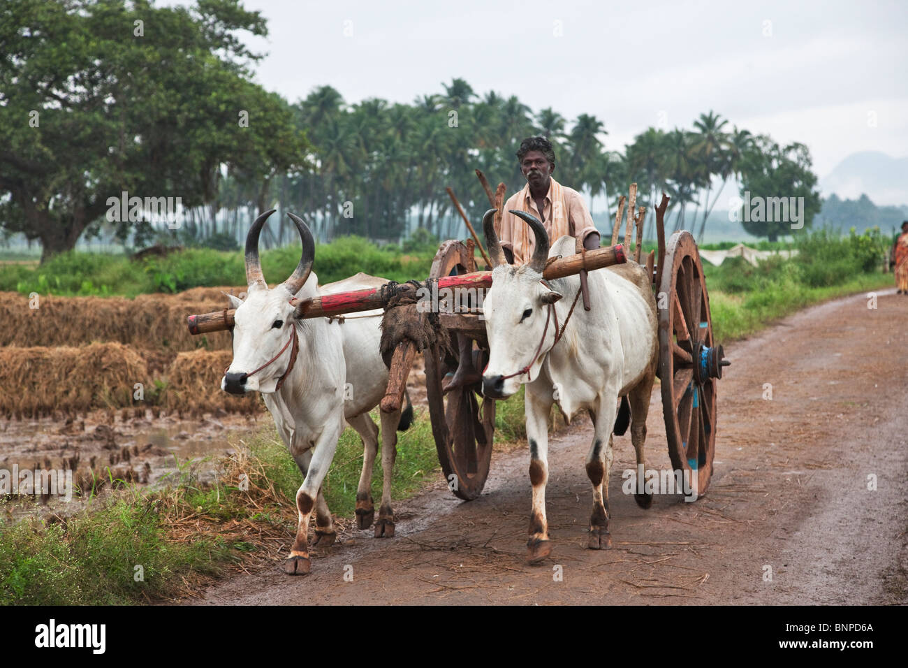 Ceb,( Bos primigenius indicus) o (Bos indicus), son un tipo de ganado doméstico que están altamente adaptados Imagen De Stock