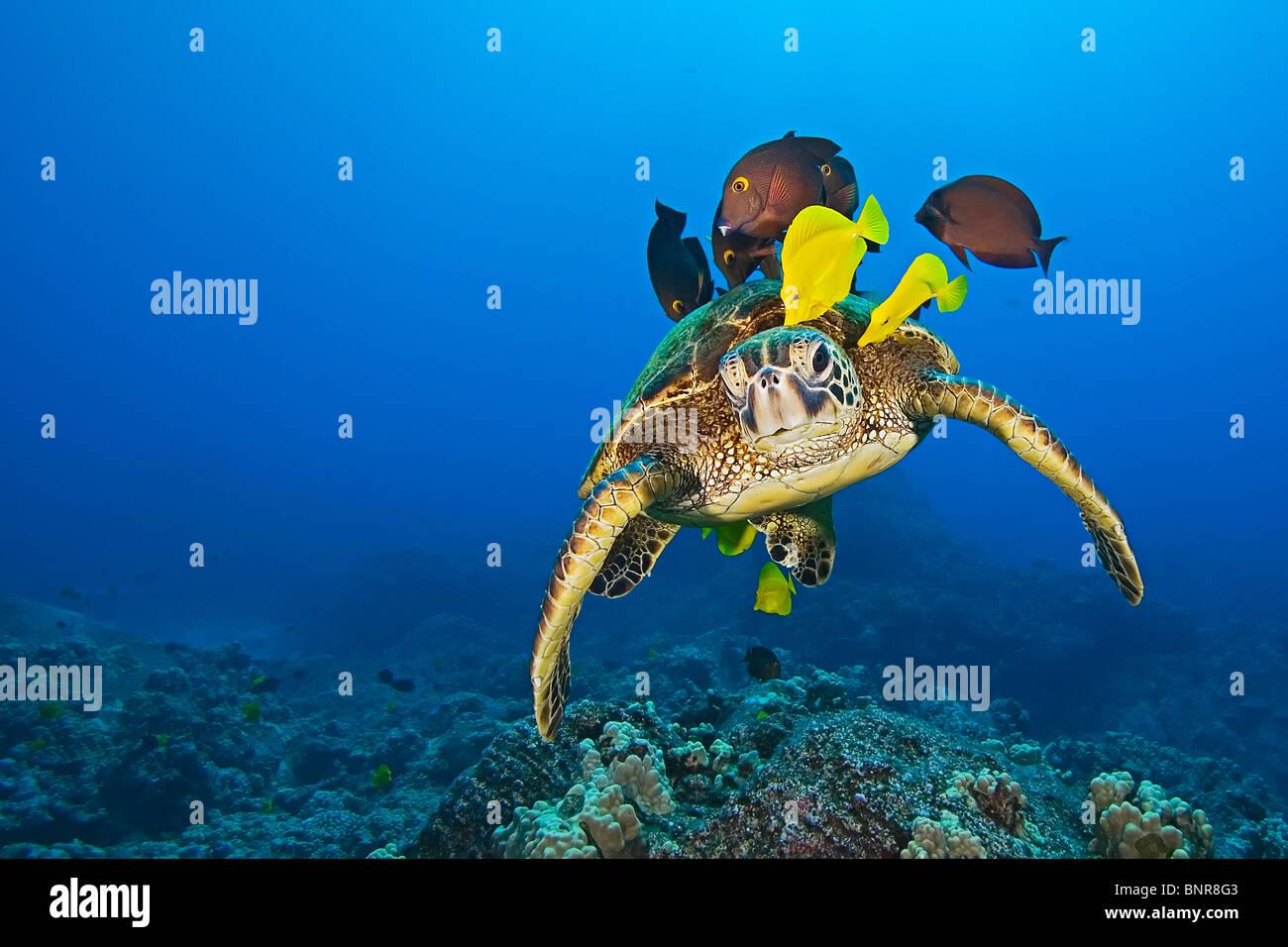 Especies en peligro de extinción, tortugas marinas verdes, Chelonia mydas, se limpian los distintos tipos de pescado Foto de stock