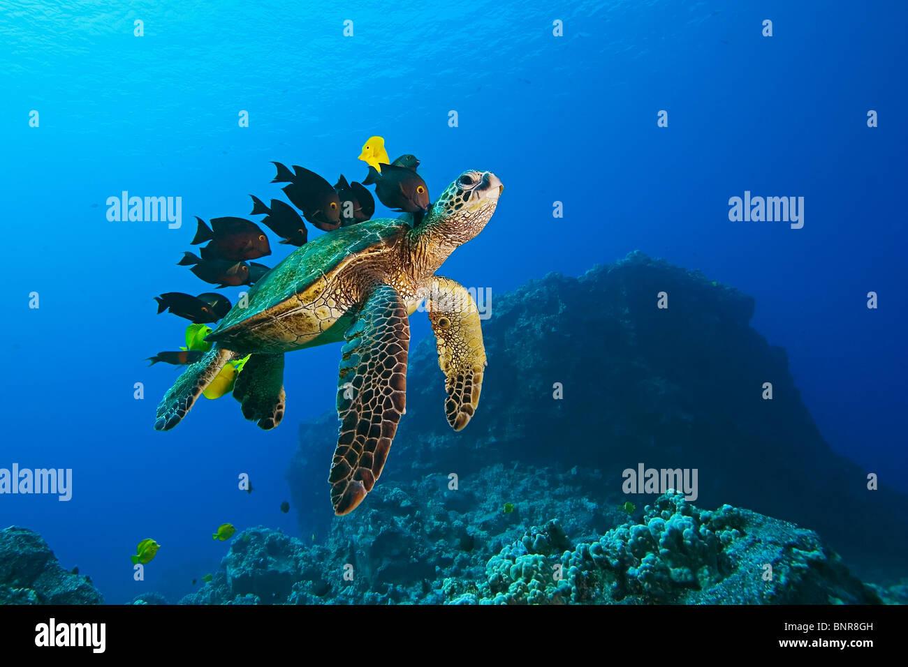 Especies en peligro de extinción, tortugas marinas verdes, Chelonia mydas, siendo limpiado por Yellow Tang, Zebrasoma flavescens Foto de stock