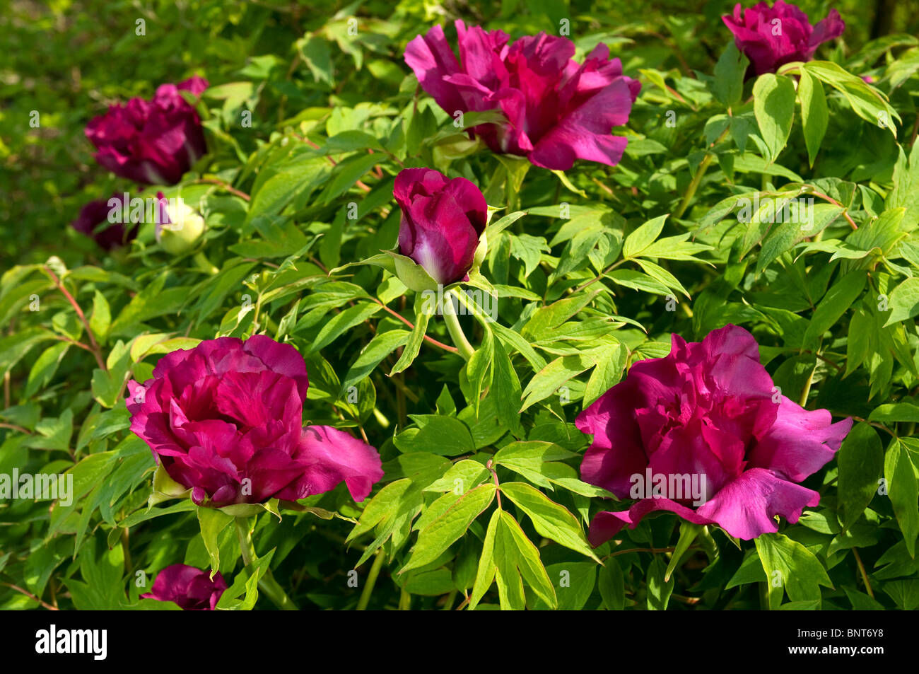 De Peonía (Paeonia suffruticosa Negricans), floración, Bush. Foto de stock