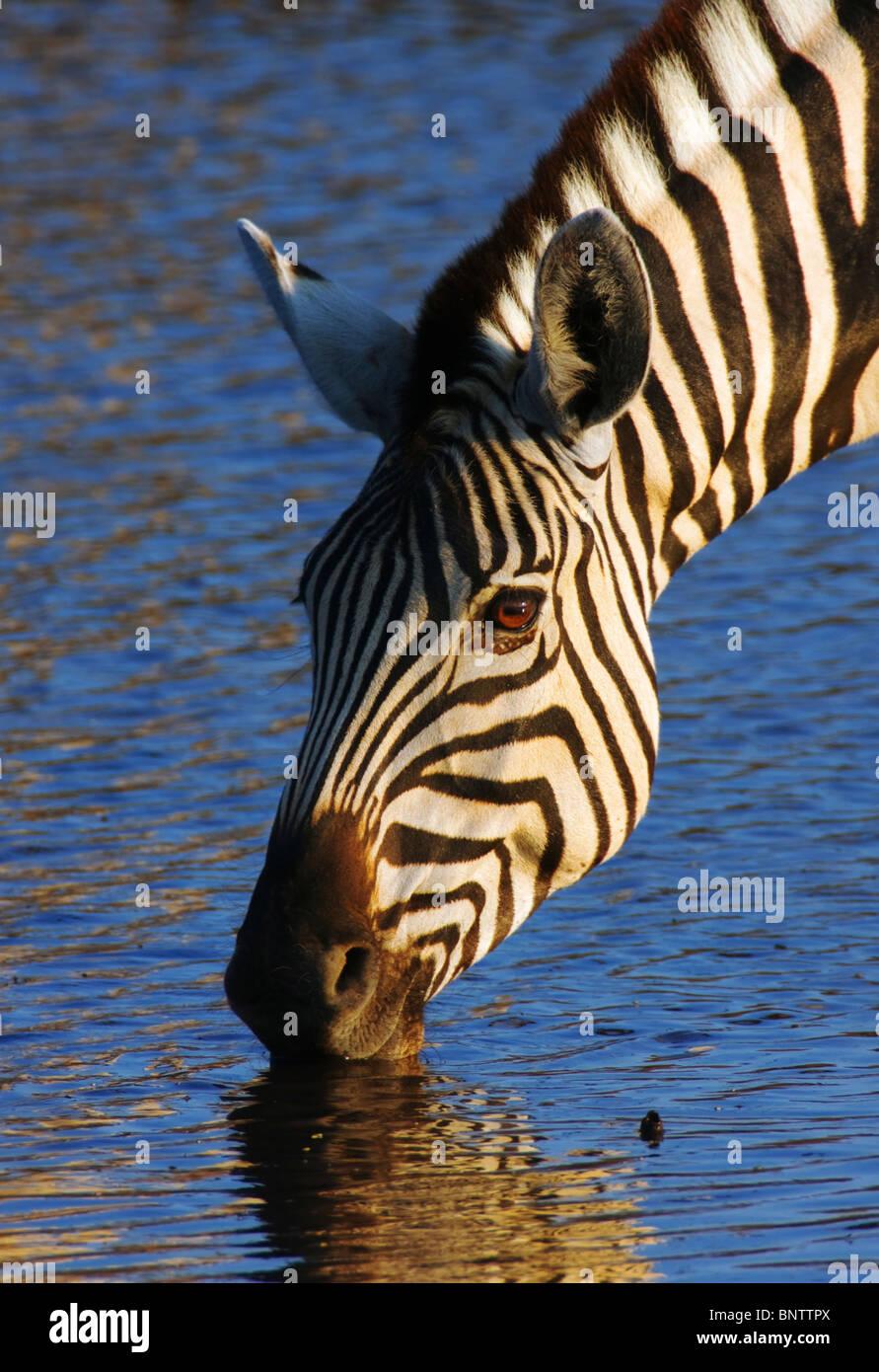 Close-up de una cebra bebiendo en un abrevadero en el Parque Nacional Etosha ; Equus burchell's Imagen De Stock