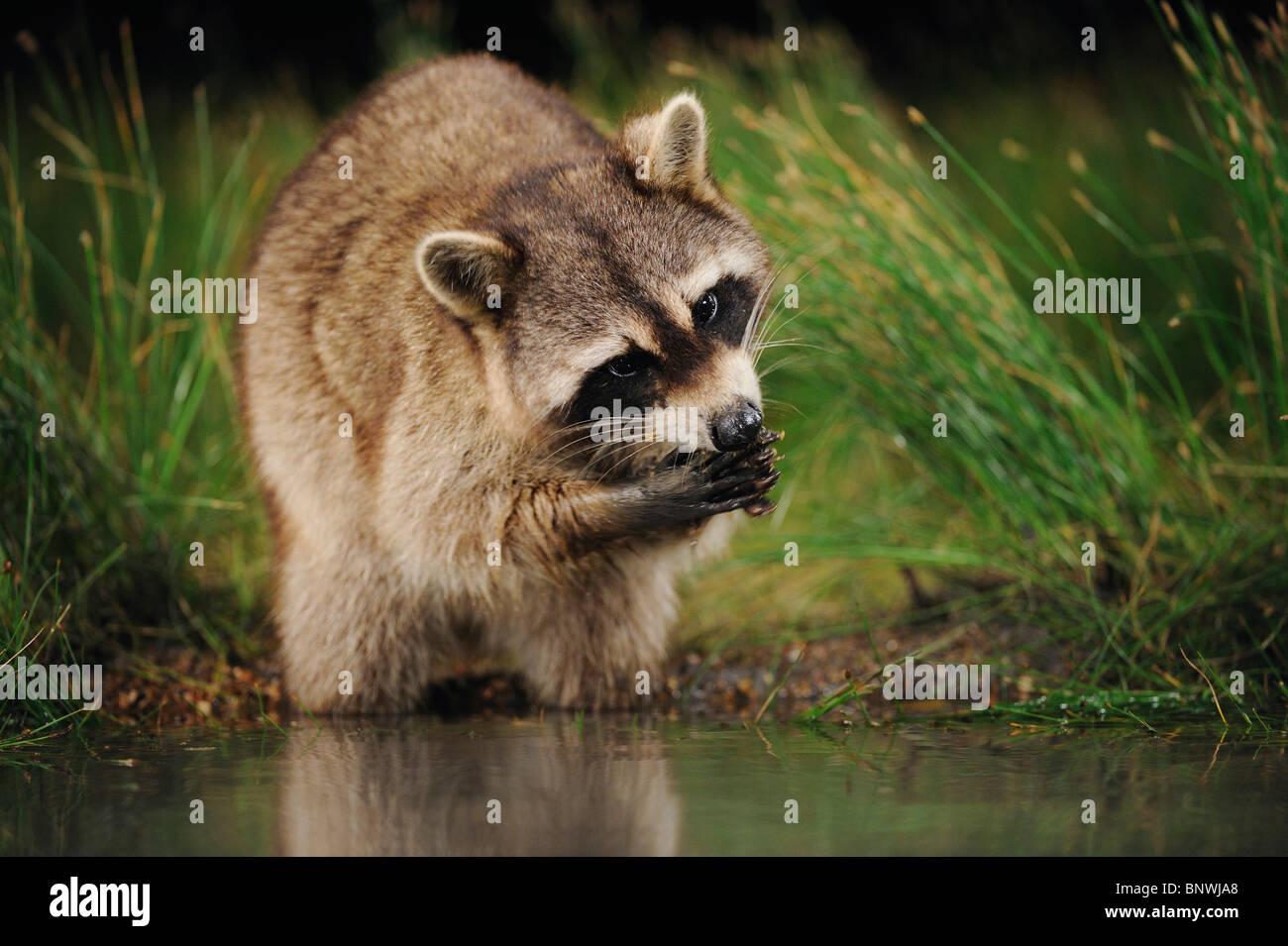 Norte de mapache (Procyon lotor), de adultos por la noche alimentándose en lago, humedal Fennessey Ranch, refugio, Imagen De Stock