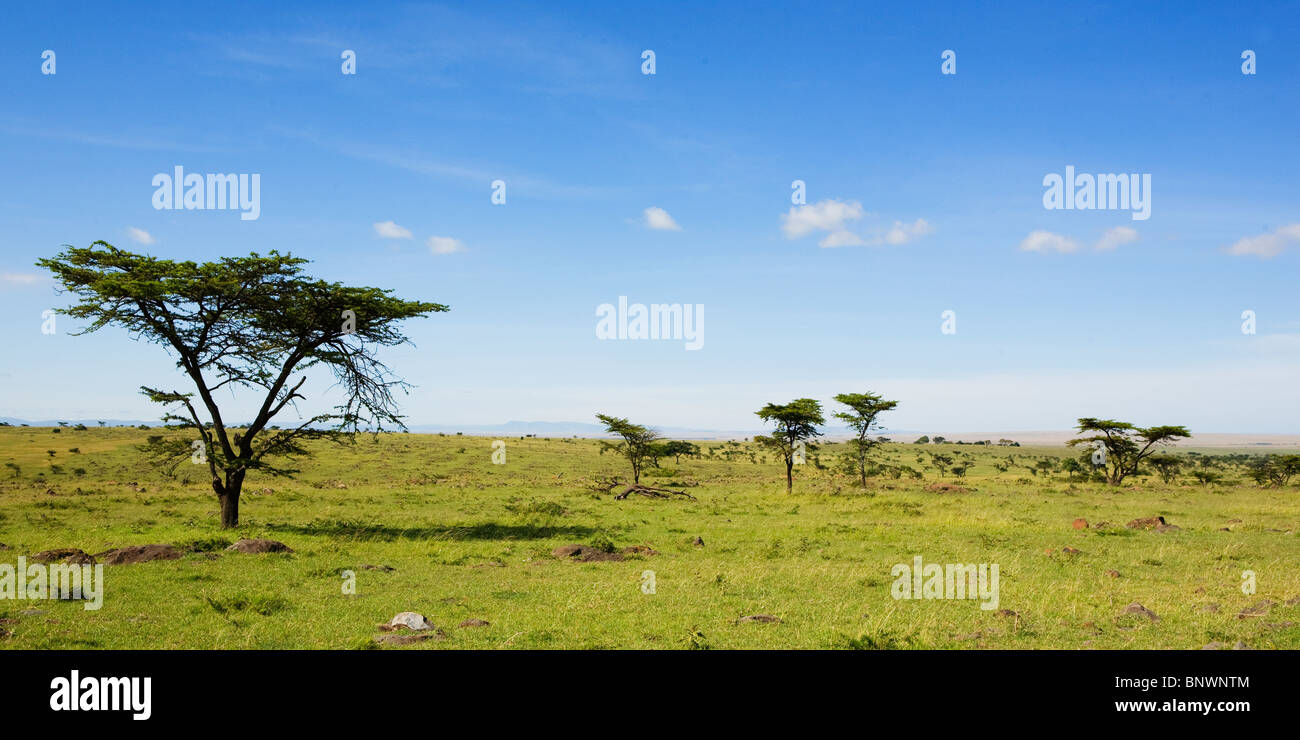 Árboles en la llanura de Masai Mara en Kenya Imagen De Stock