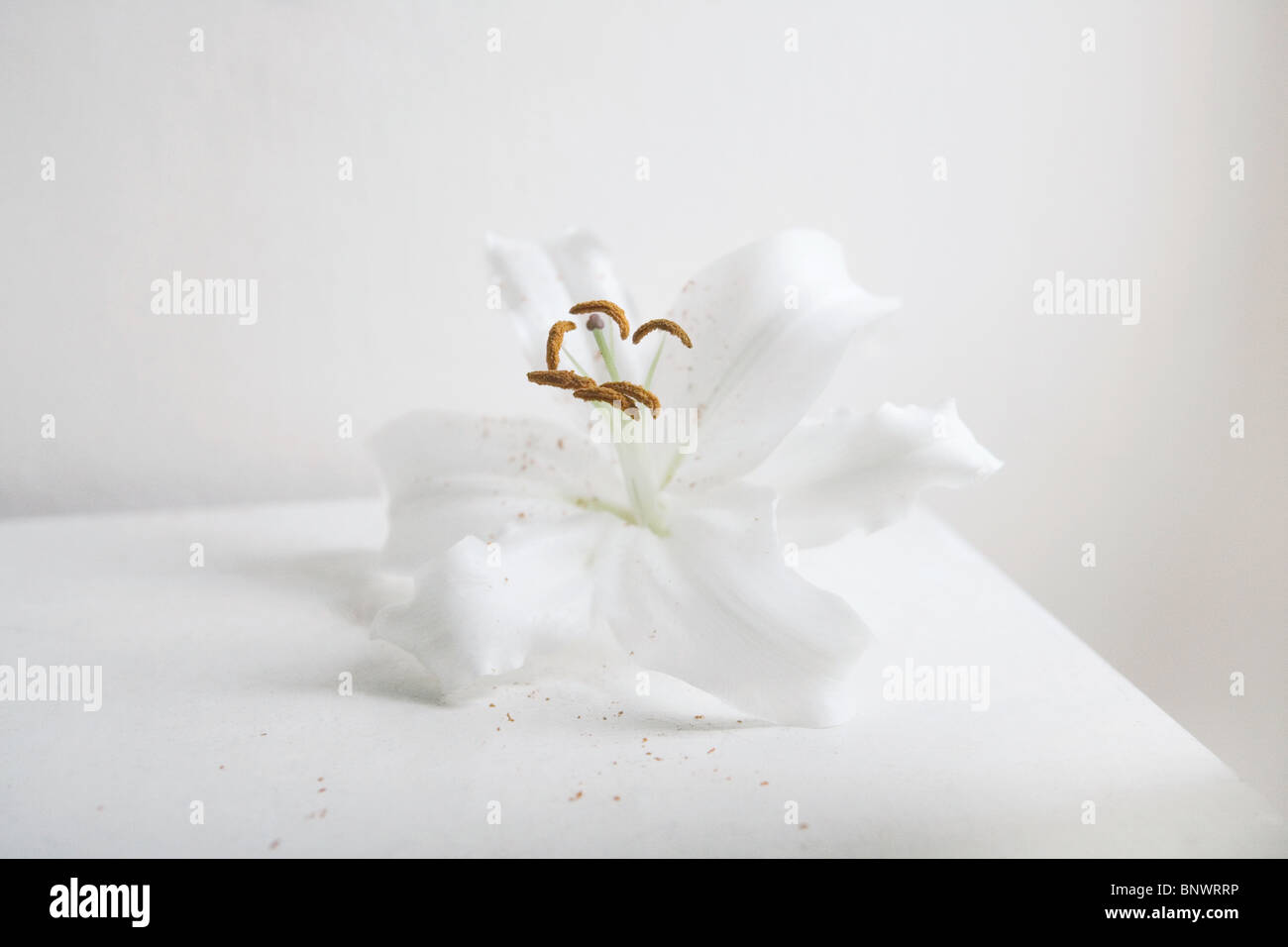 Un lirio blanco flor Imagen De Stock