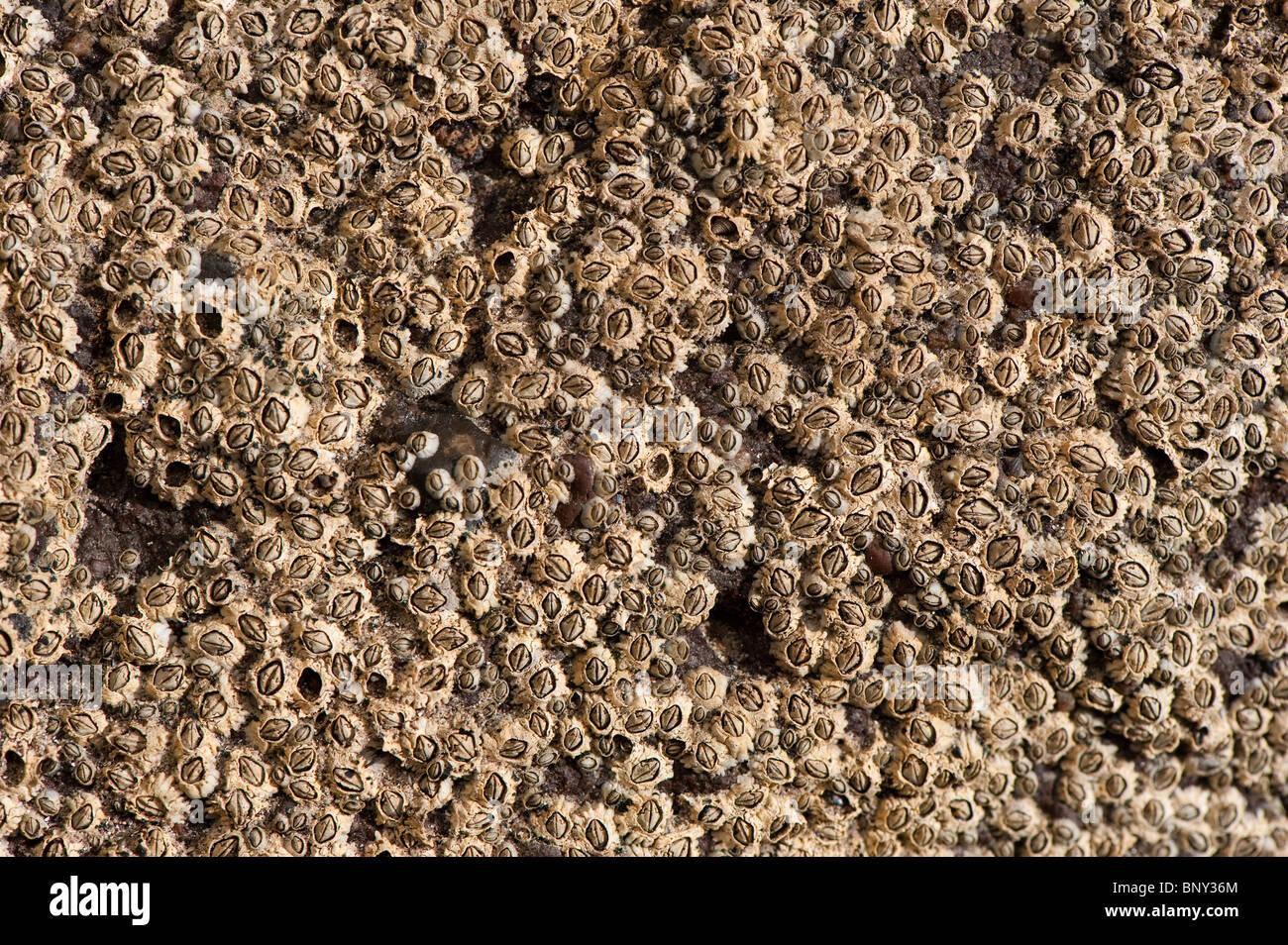 Acorn percebes en roca en la marea baja. (Semibalanus balanoides) Foto de stock