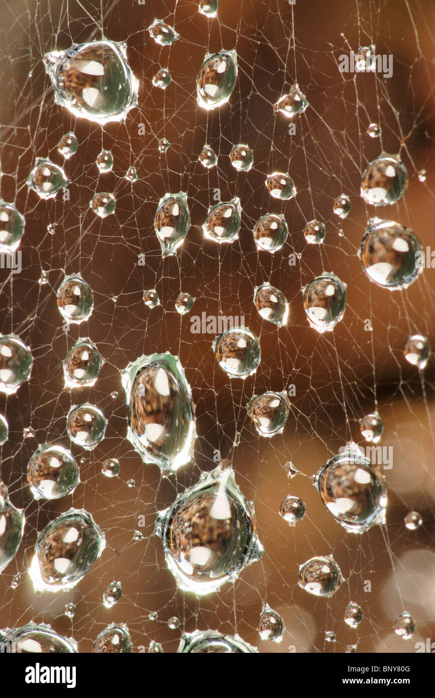 Gotas de agua sobre las arañas web. Imagen De Stock
