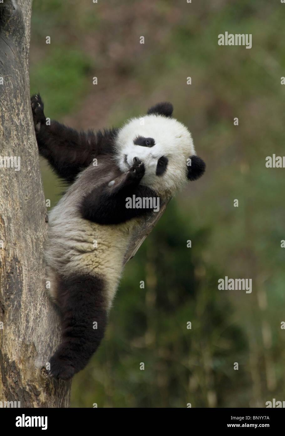 Un joven panda cub utiliza una rama de árbol como respaldo, Sichuan, China Imagen De Stock