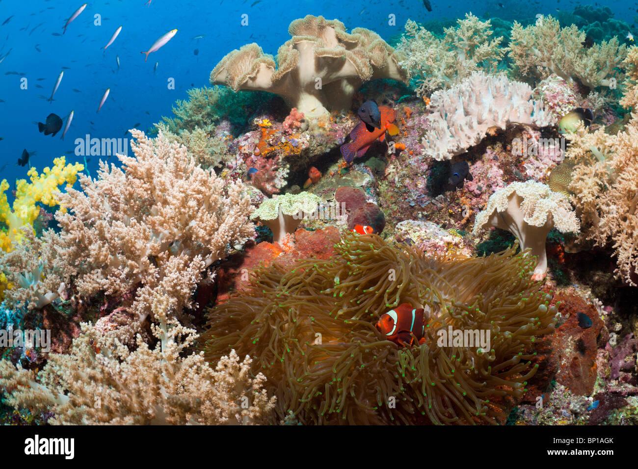 Ricos arrecifes de coral, Raja Ampat, Indonesia Foto de stock