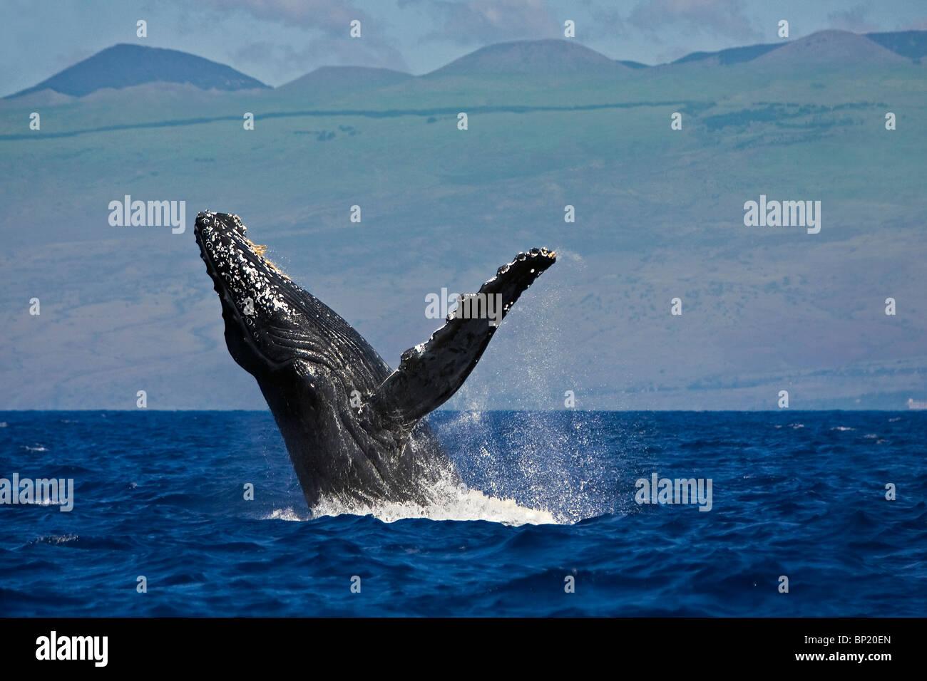 Infringir la ballena jorobada, Megaptera novaeangliae, costa de Kona, Big Island, Hawaii, EE.UU. Foto de stock