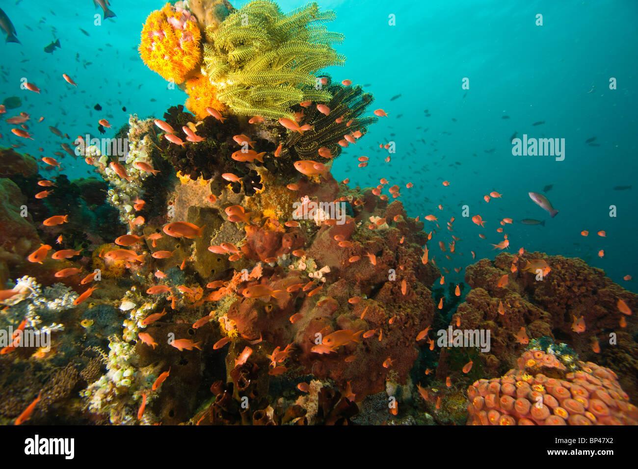 Los peces (Pseudanthias squamipinnis Anthias) el Mundo Marino de Isla Verde, cerca de Puerto Gallera, Filipinas, Imagen De Stock