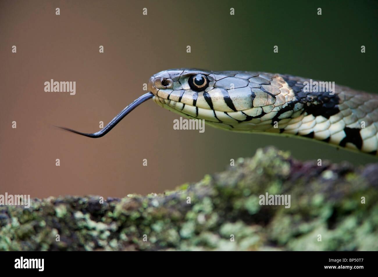 Culebra (Natrix natrix). Close-up de adulto mostrando la lengua, Países Bajos. Imagen De Stock