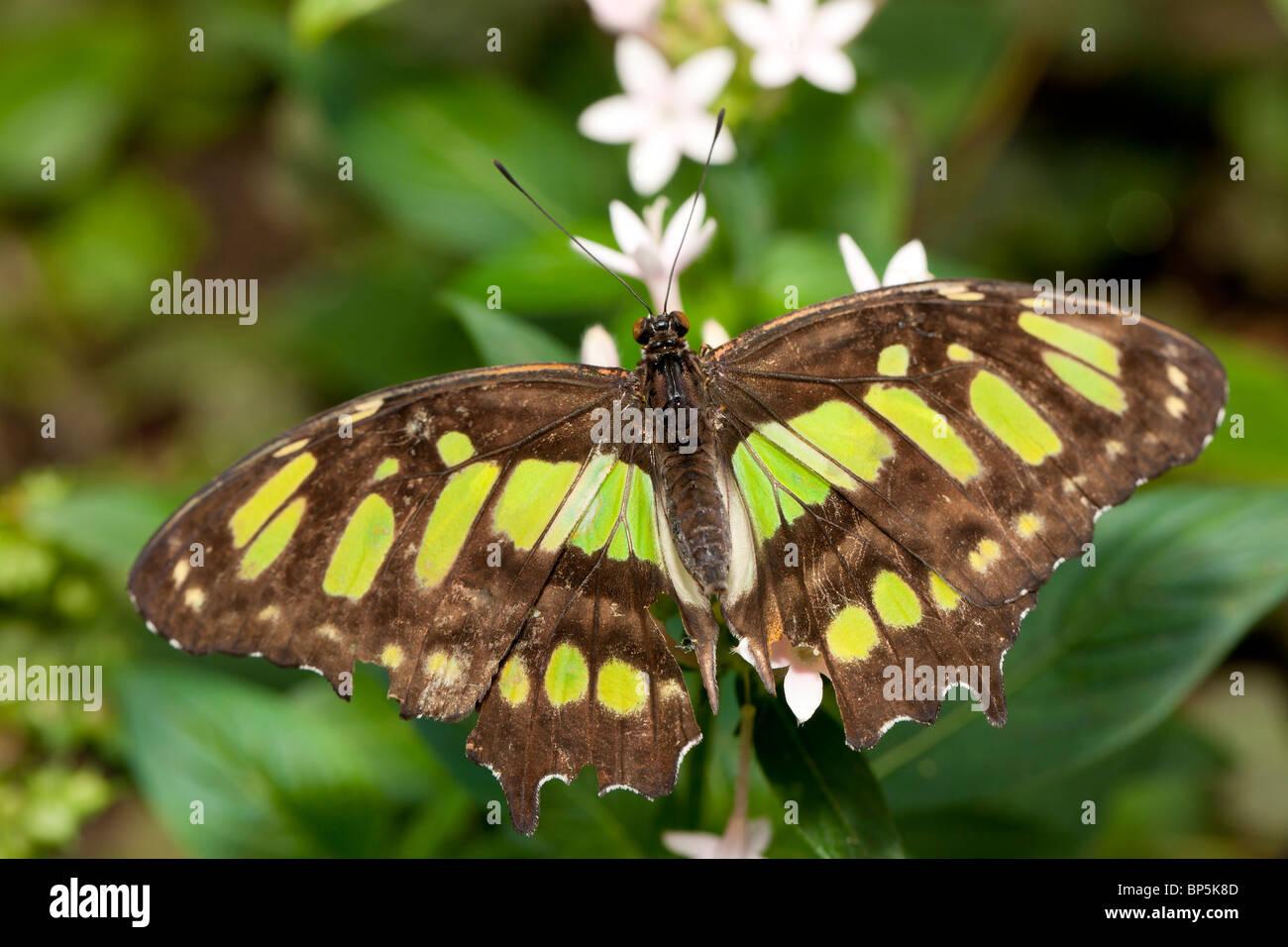 La malaquita butterfly (Siproeta Stelenes) Foto de stock