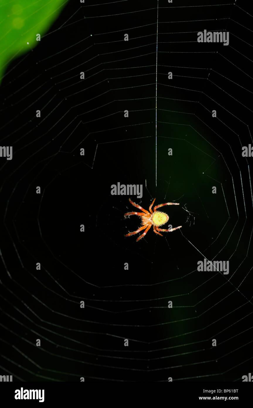 Araña tropical de Orb Web, selva, Chilamate, Costa Rica Imagen De Stock