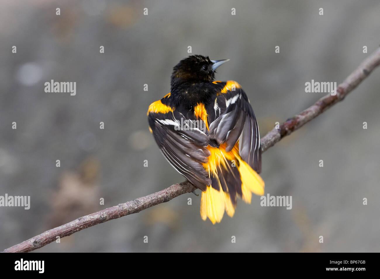 Macho adulto de Baltimore oriole posado en una rama después de un baño Foto de stock