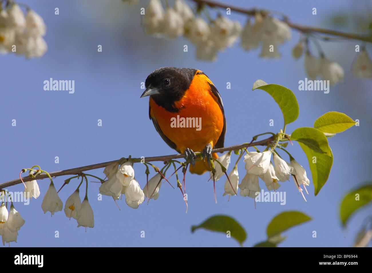 Macho adulto de Baltimore oriole encaramado en un árbol Silverbell Carolina Foto de stock