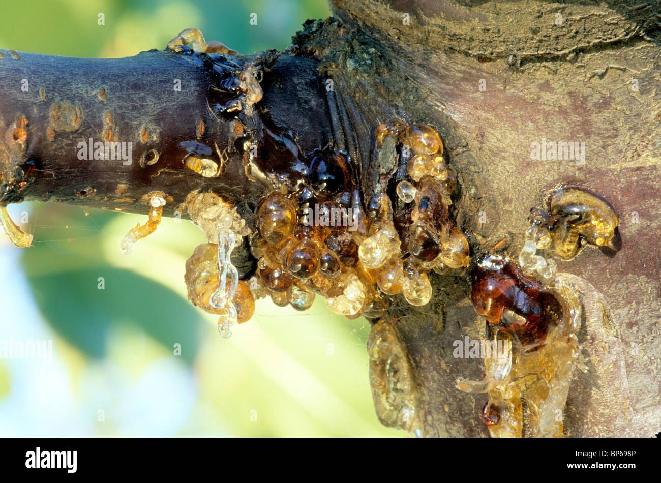 El cancro bacteriano, Bing Cherry. Foto de stock