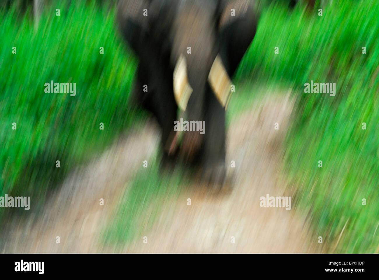 Elefante indio o asiático (Elephas maximus). Foto de stock