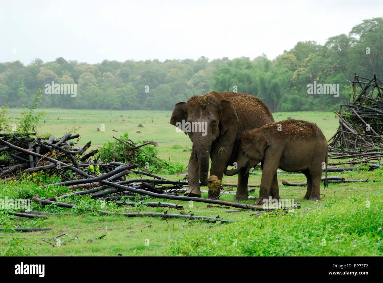 El elefante asiático (Elephas maximus), la madre y la pantorrilla. Kabini, Parque Nacional Nagarhole, India. Foto de stock
