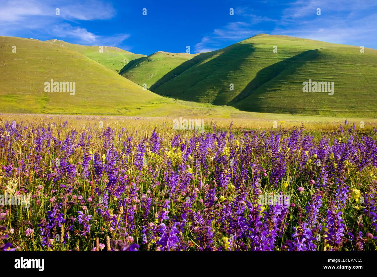 Acres de flores silvestres en el Piano grande cerca de Castelluccio, parte del Parque Nacional de los Montes Sibillini, Imagen De Stock