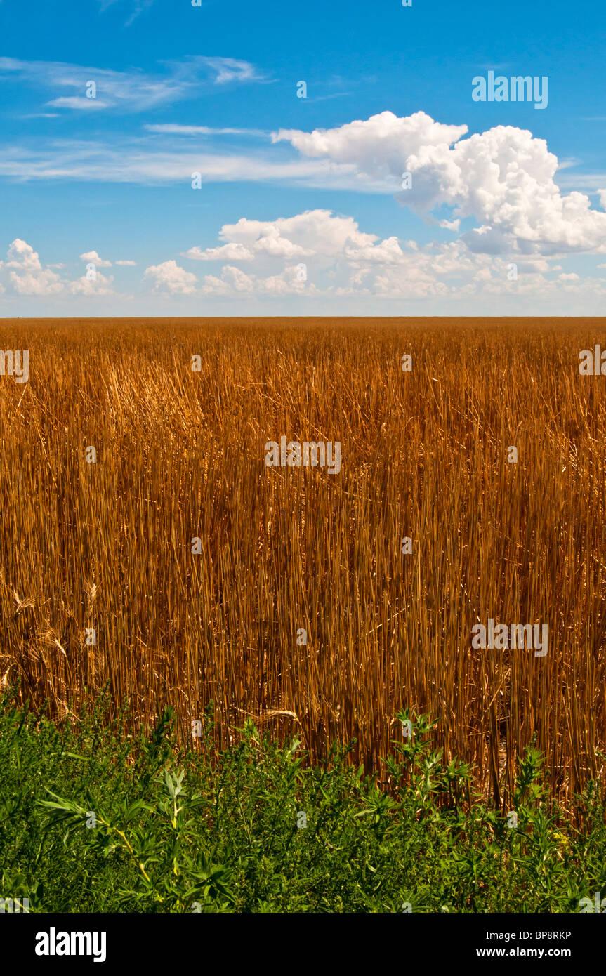 Campo de paja sin cortar contra un cielo azul en el sur de Colorado, EE.UU. Imagen De Stock